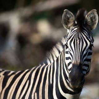 Pakawi Park zebra