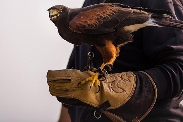 Roofvogel op handschoen