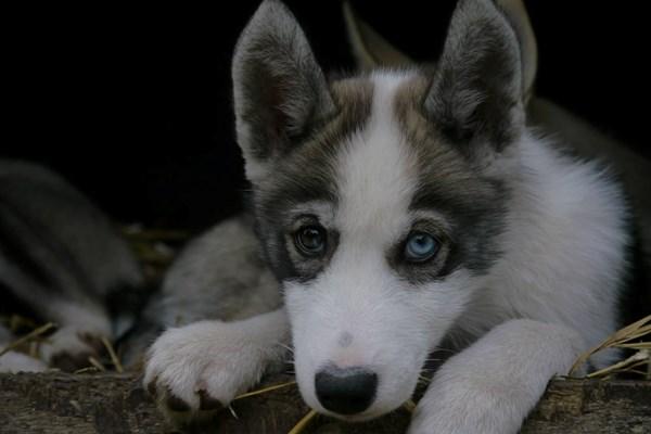 Syberische husky pup