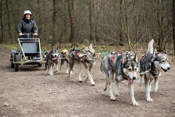 Slede honden in het bos