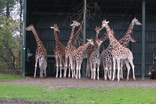 Giraffen Beekse Bergen
