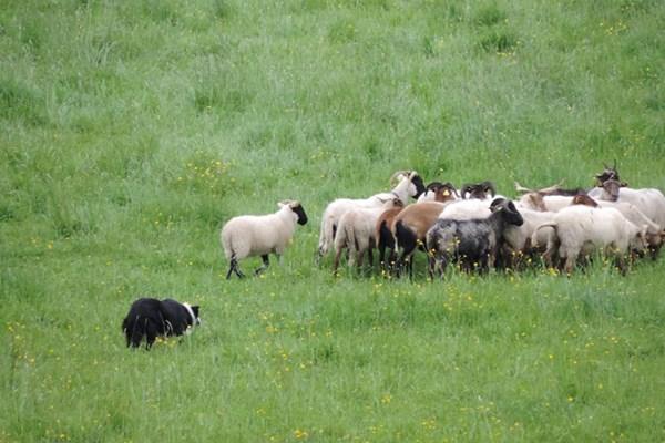 Workshop schapendrijven