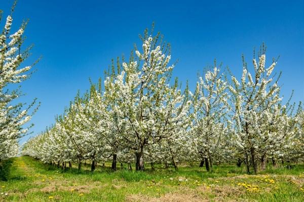 Fruitgaarden Haspengouw